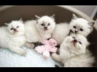 We have beautiful Ragdoll babies! Both parents are
