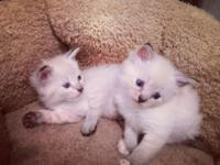 we have gorgeous ragdoll Siamese kittens. Mother is a