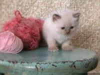 We have gorgeous Siamese blue point kittens. both