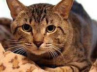 Kitty Boy's story Primary Color: Brown Tabby Weight: