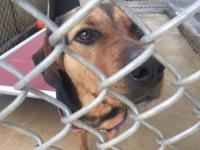 KIYA is a female Hound mix, brown and black in color,