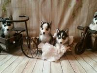 jlbvgfrrtdesxz for sale.Outstanding Siberian husky