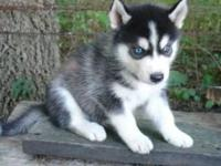 dfbdsfdgdsgds Absolutely darling Siberian Husky