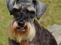 My name is Klaus the schnauzer and Im a distinguished