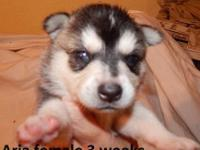 we have a female purebred klee kai puppy possible blue