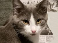Klinger is a sweet, playful kitten. Hes a bit shy, but