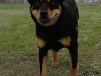 Kloe is a 2 y/o female Rottweiler mix, 48.8 pounds,