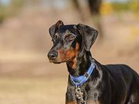 Klsaus's story Klaus, a 5 month old Doberman, was