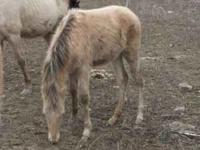 THIS IS A BEAUTIFUL BUCKSKIN CHAMPAGNE COMING YEARLING