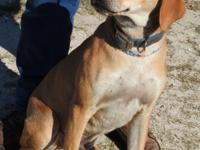 Kobe is a large male Cur, brown and white in color.  He