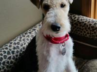 Wire Fox Terrier Rescue is a 501(c)3 non-profit