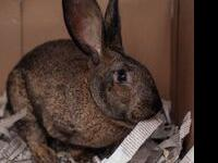Kobu is an adult, male, American rabbit. He was left in