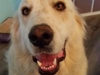 Fluffy, handsome Koda is a 2 1/2 yr old Great Pyrenees