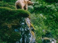 The Alaskan brown bear might be a subspecies of bears