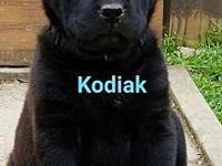 Kodiak's story This dog will be available on 3/21/18.
