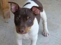 Kodiak is a beautiful dark chocolate male Rat Terrier.