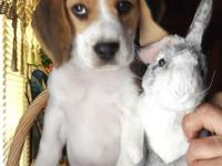 Kody is a really handsome tri-color beagle pup. His