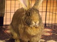 Kody is a 14 pound, 3 year old Flemish Giant and one of