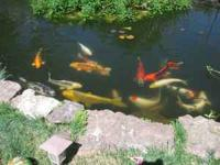 Make an offer.... We have 17 large and colorful koi