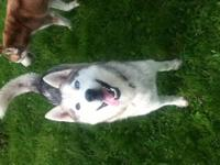 Koi is a Husky/Pitt Bull Mix that is approx. 2 yrs old.