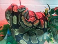 Kojiro is a great looking ball python. If you are