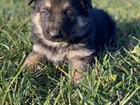 Very sweet and playful German Shepard puppy. Up to date
