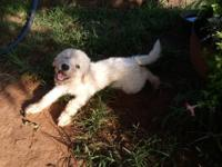 Gorgeous sweet female komondor puppy searching for a