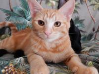I am Kona, a beautiful red Tabby.  I am a young adult.