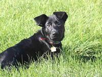 KOPI's story Looking for a black Labrador Retriever mix