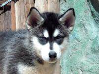 Korogi ~ Male ~ Black & White Coat ~ Brown Eyes He's