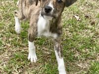 Kramer is a male brindle and white Scotchi (Scottish