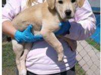 Kristoff is a 10-12 week old lab mix weighing currently