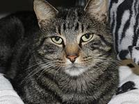 Kronk's story Kronk is a Tabby Domestic Short Hair who