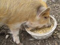Ginger Kune Kune boar piglet, great for breeding sire