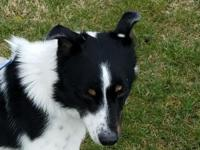 Meet Kyle! He is a 2 yr old Bordie Collie mix. He