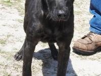 Kyle is a medium sized male Lab mix, black in color.