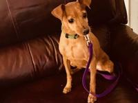 6 year old 7 lb Red female ChihuahuaINTERESTED IN