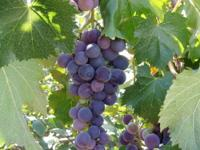 For sale are a few Kyoho grape plants, about 2 years