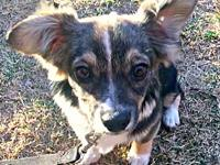 Kyro's story Kyro is a 5MO Mutt. We believe has Corgi