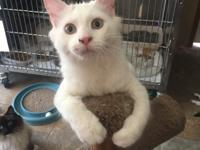 La Bamba is a white, medium haired kitten with tan