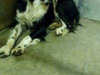 Scout is an 8 year old, neutered male Brittany/Border