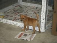 This is a lab and boxer mix puppy for sale. The puppy
