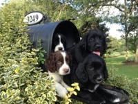 We have a few stunning 3/4 English Springer Spaniel 1/4