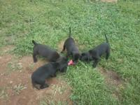 The PUPPIES' Sire is a purebred Black Labrador