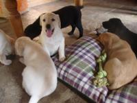 Goldador Puppies Lab And Golden Retriever Mix Best Of Both Breeds For Sale In Citrus Heights