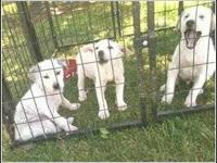 We have 3 male White Husky/Lab mix puppies born Feb.