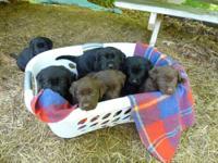 Beautiful purebred Labrador Retriever Puppies!! CKC