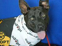 Mr. Spock is an energetic young male Lab mix that was