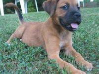 Description Free lab sheperd mix puppies, they are very