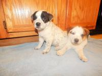 Cute Lab Border Collie mix puppies. Pups have their